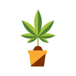 growing cannabis